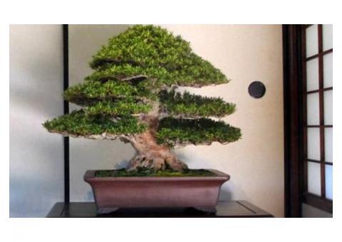 Curso Taller Cultivo de Árboles Bonsái