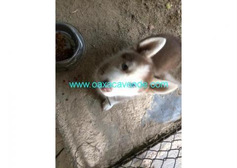 Husky manto rojo y ojos azules