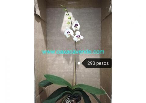 Orquídeas Phalaenopsis